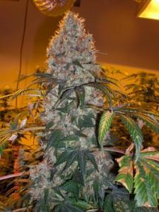 Medical Marijuana Strains, Violator Kush