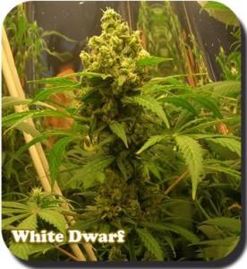 Autoflowering Seeds White Dwarf