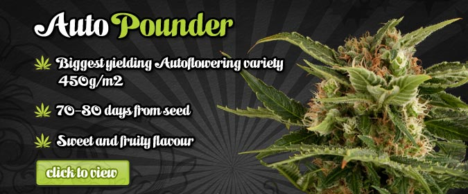 Auto Seeds Auto Pounder High Quality Autoflowering Cannabis Seeds USA.