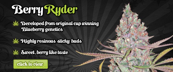 Auto Seeds Berry Ryder Autoflowering Seeds On Sale Here