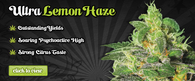Autoflowering Cannabis Seeds USA Lemon Haze Buy Auto Seeds Here.