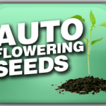 Autoflowering Outdoor Marijuana Seeds