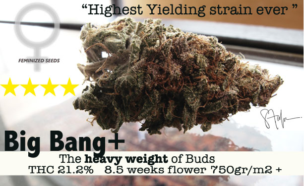BIG BANG SEEDS