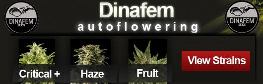 Dinafem Autoflowering Seeds