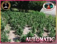 Big Buddha Seeds Automatic