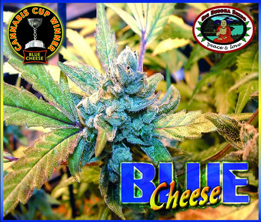 Big Buddha Seeds Blue Cheese.