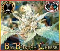 Big Buddha Seeds The Cheese