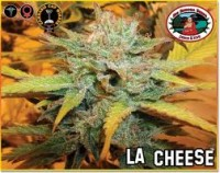 Big Buddha Seeds LA Cheese