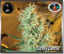 Big Buddha Seeds Silver Cheese