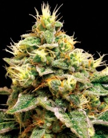 Bubba Kush Green House Seeds - OG Kush Collection.