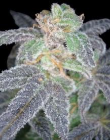 Purple Kush From DNA Genetics
