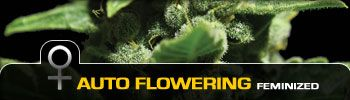 Autoflowering Medical Marijuana Seeds