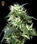 Green House Seeds Sweet Mango Autoflowering Seeds.
