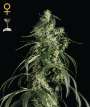 Green House Seeds Arjans Haze #1