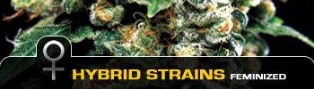 Hybrid Autoflowering Medical Marijuana Seeds.