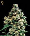 Green House Seeds Jack Herer
