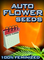 Autoflowering Colorado Marijuana Seeds
