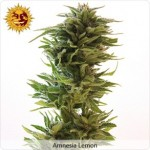 Barneys Farm Seeds Amnesia Lemon.