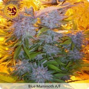 Barneys Farm Blue Mammoth Autoflowering