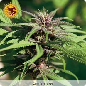 Barneys Farm Crimera Blue
