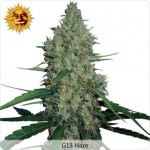 Barneys Farm G13 Haze Medical Marijuana Seeds