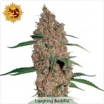 Barneys Farm Laughing Buddha Marijuana Seeds
