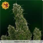 Autoflowering Outdoor Marijuana Seeds from Barneys Farm