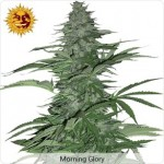 Barneys Farm Morning Glory Marijuana Seeds