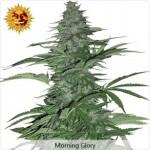 Barneys Farm Morning Glory Marijuana Seeds