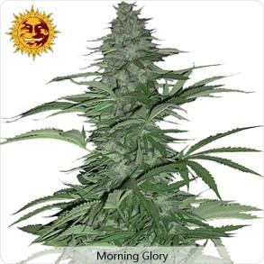 Barneys Farm Morning Glory