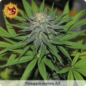 Barneys Farm Pineapple express Autoflowering