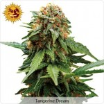 Barneys Farm Tangerine Dream Medical Marijuana Seeds.