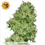 Barneys Farm Utopia Haze Marijuana Seeds.