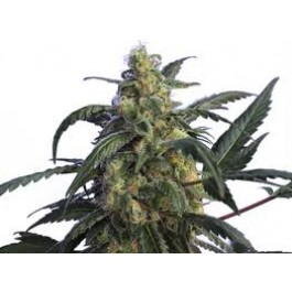 Hero Seeds Alien Jack Motta