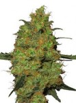 OG Kush Green House Seeds Bubba Kush.