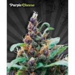 Purple Cheese Autoflowering Marijuana Seeds from Auto Seeds