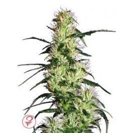 Sensi Seeds Purple Haze