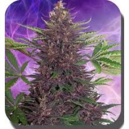 Purple Kush Autoflowering Budda Seeds
