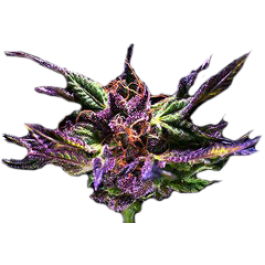 Purple Kush from Granddaddy Purple Seeds