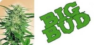 Sensi Seeds Big Bud
