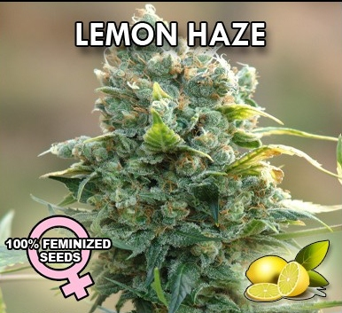 Lemon Haze Seeds