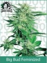 Sensi Seeds Big Bud Feminized