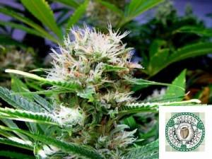Soma Seeds Buddha Sister