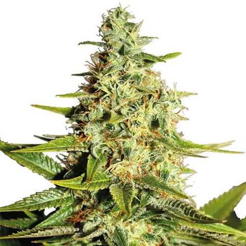 Afghan Marijuana Seeds