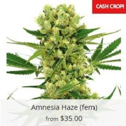 Buy Amnesia Haze Marijuana Seeds
