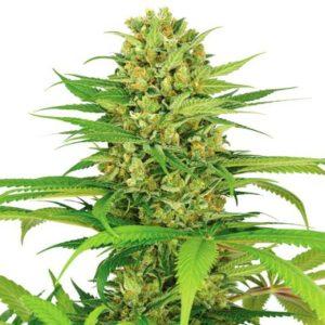 Buy Bubblegum Marijuana Seeds