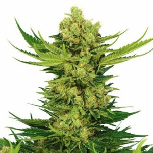 Buy Cheese Marijuana Seeds