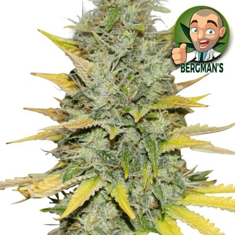 Gold Leaf Marijuana Seeds