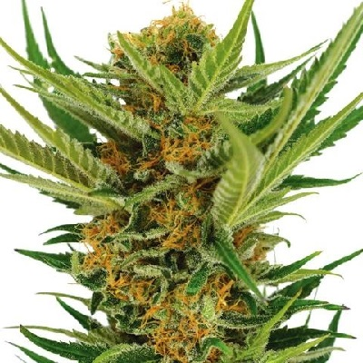 Buy Jack Herer Marijuana Seeds