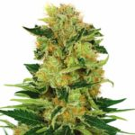 Buy Pineapple Haze Marijuana Seeds